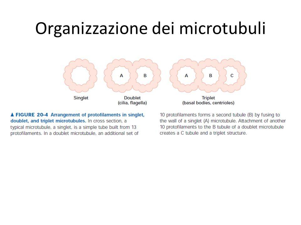 Organizzazione dei microtubuli