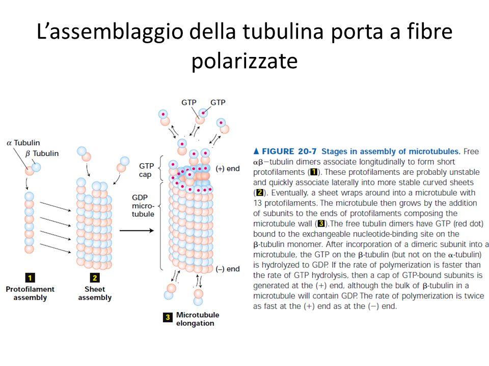 Lassemblaggio della tubulina porta a fibre polarizzate