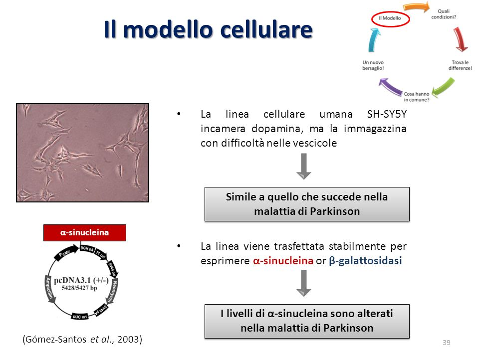 Il modello cellulare La linea cellulare umana SH-SY5Y incamera dopamina, ma la immagazzina con difficoltà nelle vescicole La linea viene trasfettata s