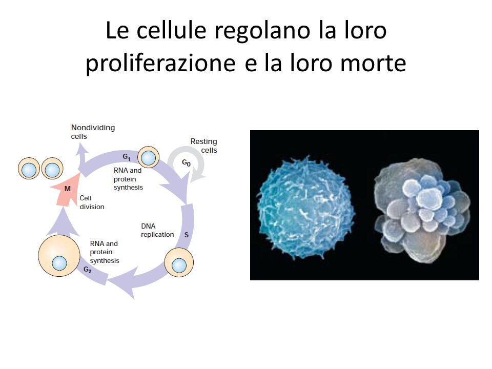 Le cellule regolano la loro proliferazione e la loro morte