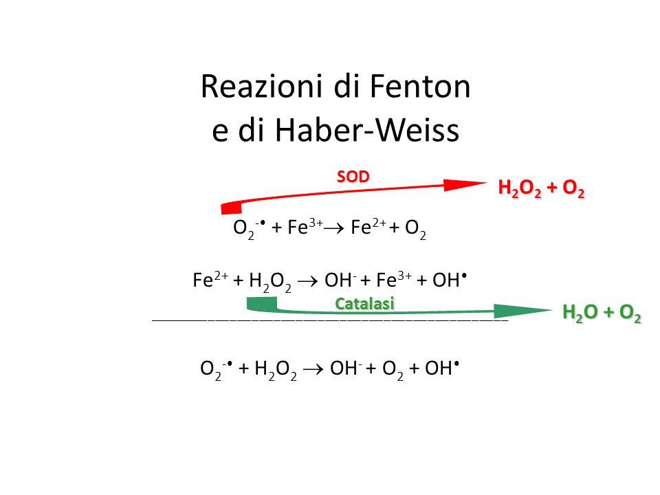 Reazioni di Fenton e di Haber-Weiss O 2 - + Fe 3+ Fe 2+ + O 2 Fe 2+ + H 2 O 2 OH - + Fe 3+ + OH _________________________________________________ O 2 - + H 2 O 2 OH - + O 2 + OH H 2 O + O 2 Catalasi H 2 O 2 + O 2 SOD