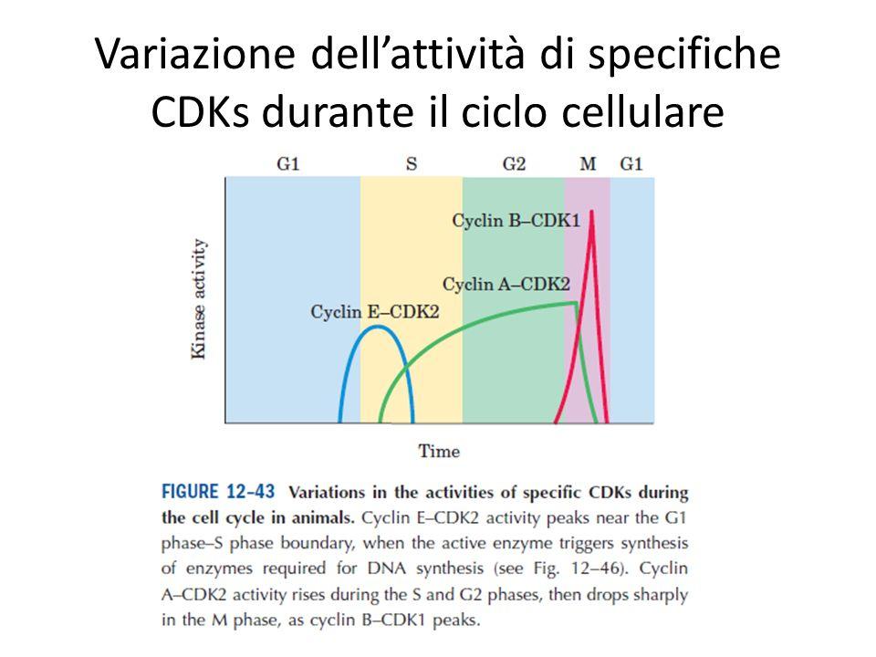 Variazione dellattività di specifiche CDKs durante il ciclo cellulare