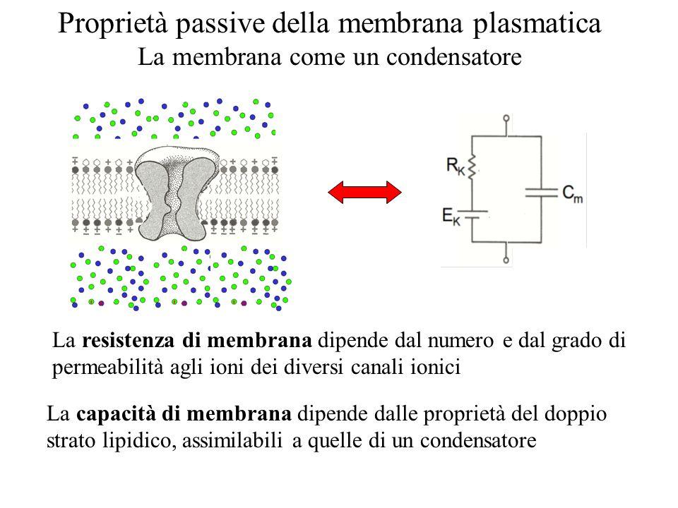 Proprietà passive della membrana plasmatica La membrana come un condensatore La resistenza di membrana dipende dal numero e dal grado di permeabilità