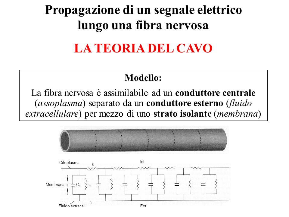 Propagazione di un segnale elettrico lungo una fibra nervosa LA TEORIA DEL CAVO Modello: La fibra nervosa è assimilabile ad un conduttore centrale (as