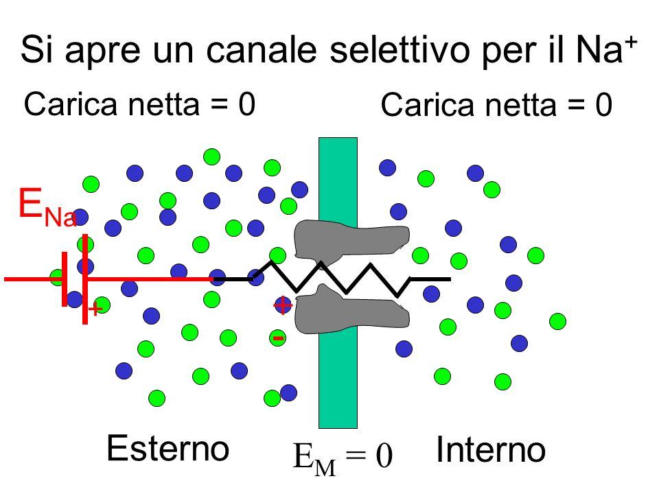 Interno Esterno Carica netta = 0 E M = 0 + - + E Na Si apre un canale selettivo per il Na +