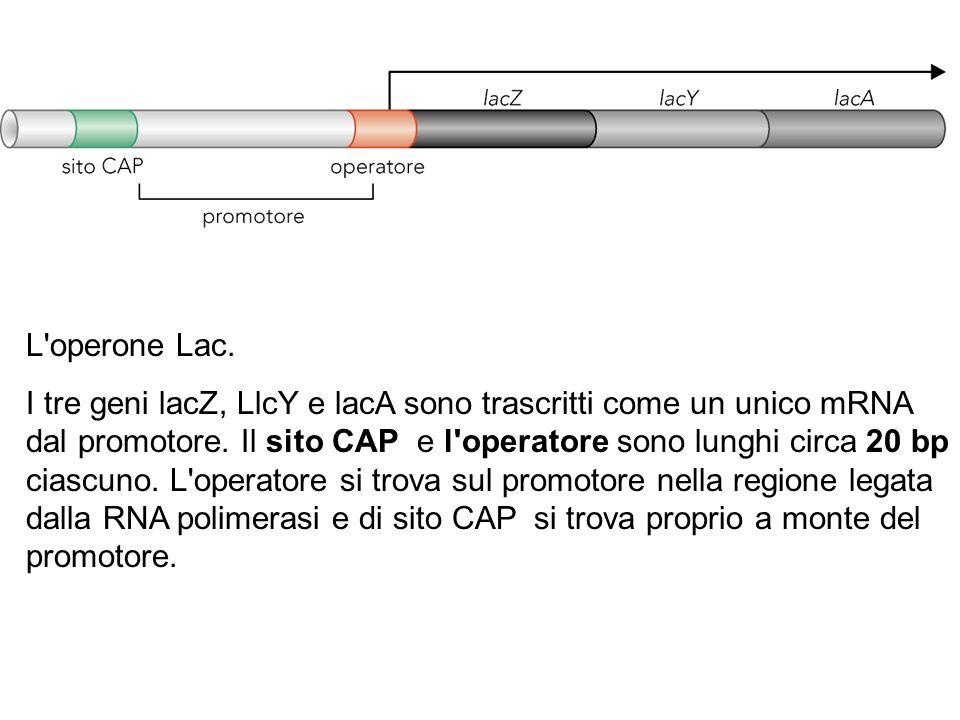 L'operone Lac. I tre geni lacZ, LlcY e lacA sono trascritti come un unico mRNA dal promotore. Il sito CAP e l'operatore sono lunghi circa 20 bp ciascu