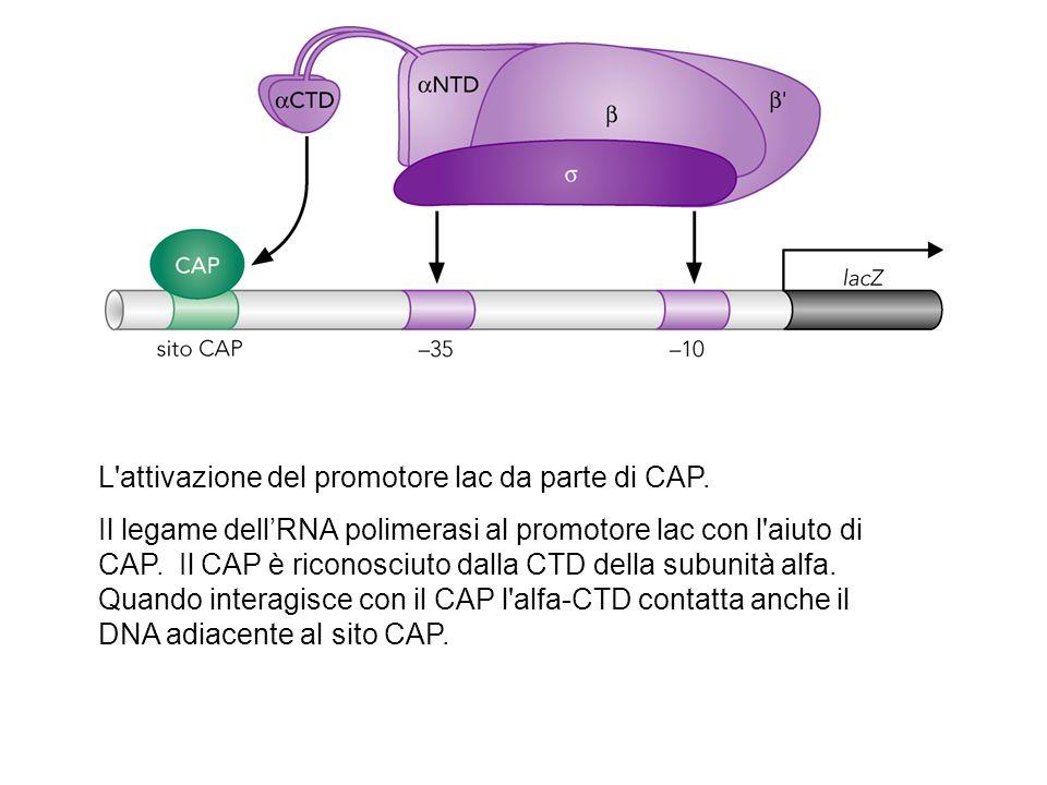 L'attivazione del promotore lac da parte di CAP. Il legame dellRNA polimerasi al promotore lac con l'aiuto di CAP. Il CAP è riconosciuto dalla CTD del