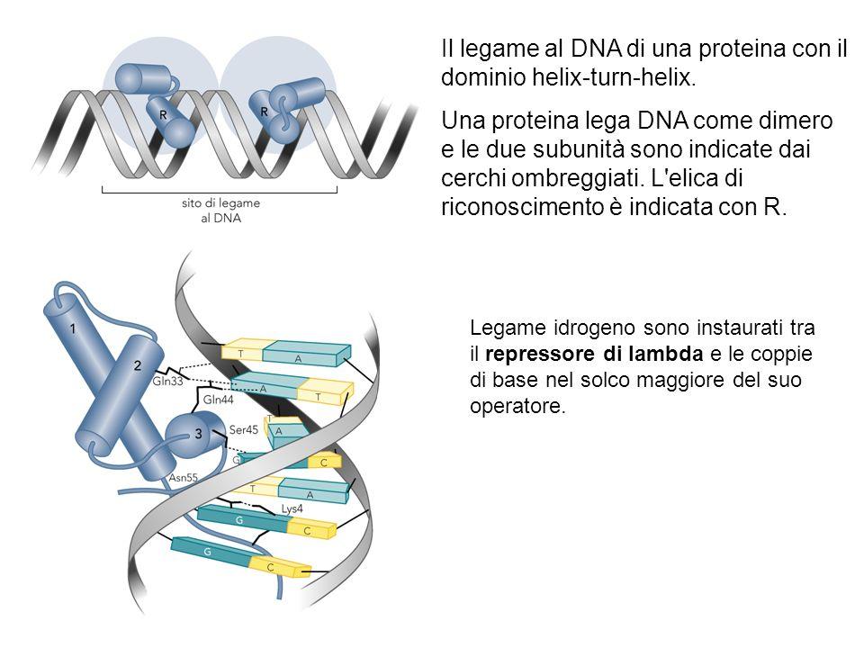 Il legame al DNA di una proteina con il dominio helix-turn-helix. Una proteina lega DNA come dimero e le due subunità sono indicate dai cerchi ombregg