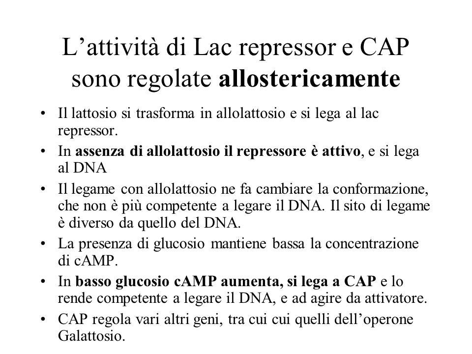 Lattività di Lac repressor e CAP sono regolate allostericamente Il lattosio si trasforma in allolattosio e si lega al lac repressor. In assenza di all