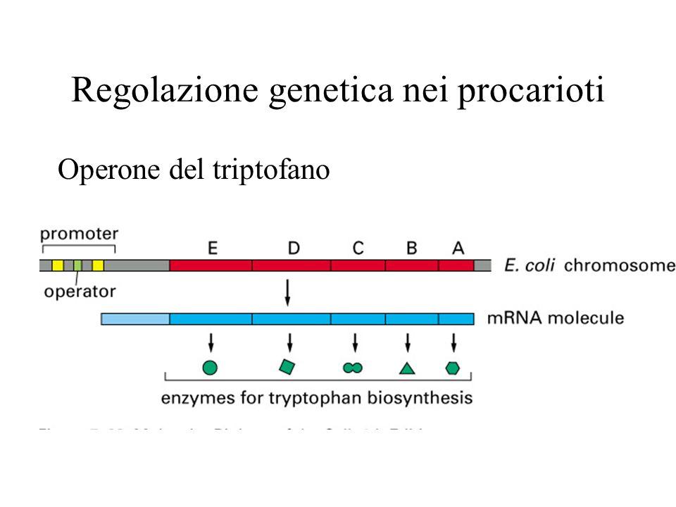 Regolazione genetica nei procarioti Operone del triptofano