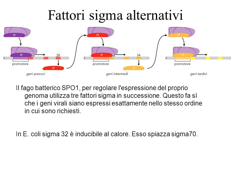 Fattori sigma alternativi Il fago batterico SPO1, per regolare l'espressione del proprio genoma utilizza tre fattori sigma in successione. Questo fa s