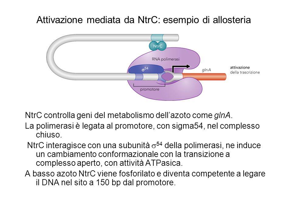 Attivazione mediata da NtrC: esempio di allosteria NtrC controlla geni del metabolismo dellazoto come glnA. La polimerasi è legata al promotore, con s