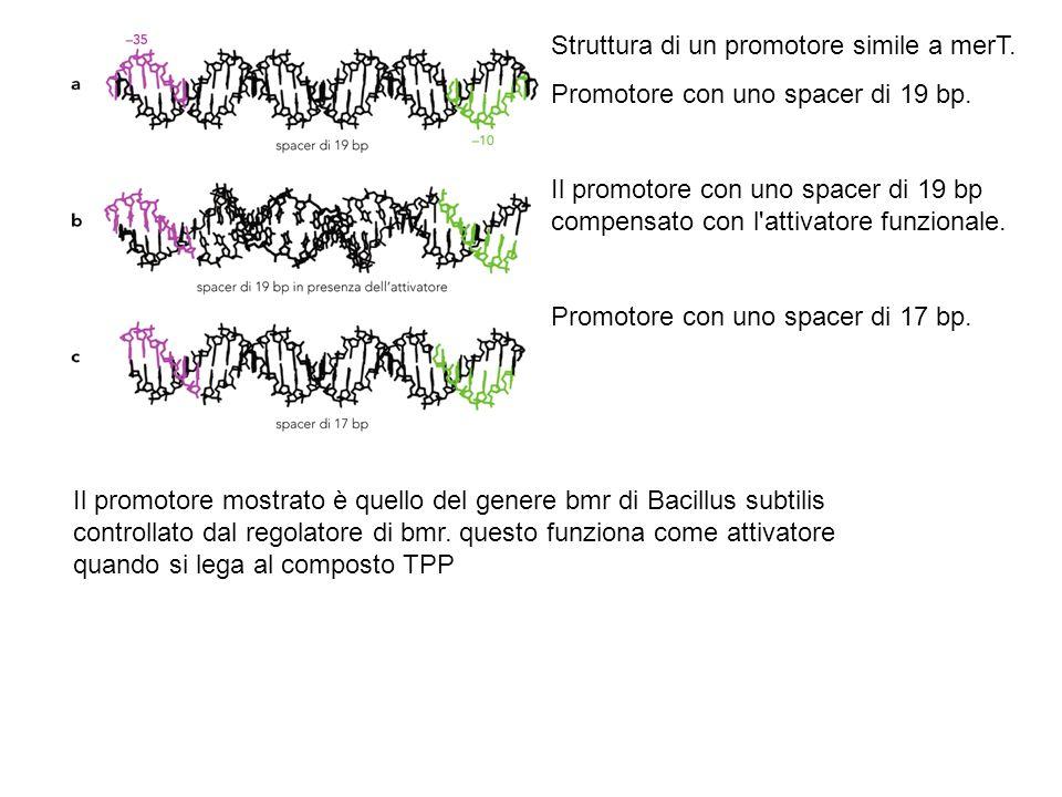 Il promotore mostrato è quello del genere bmr di Bacillus subtilis controllato dal regolatore di bmr. questo funziona come attivatore quando si lega a