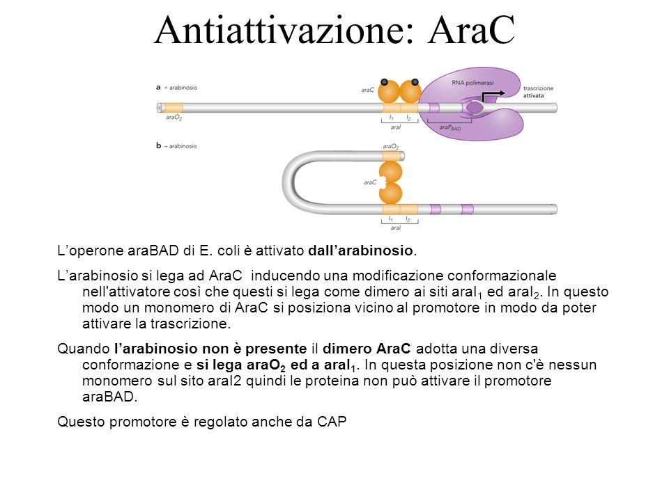 Antiattivazione: AraC Loperone araBAD di E. coli è attivato dallarabinosio. Larabinosio si lega ad AraC inducendo una modificazione conformazionale ne