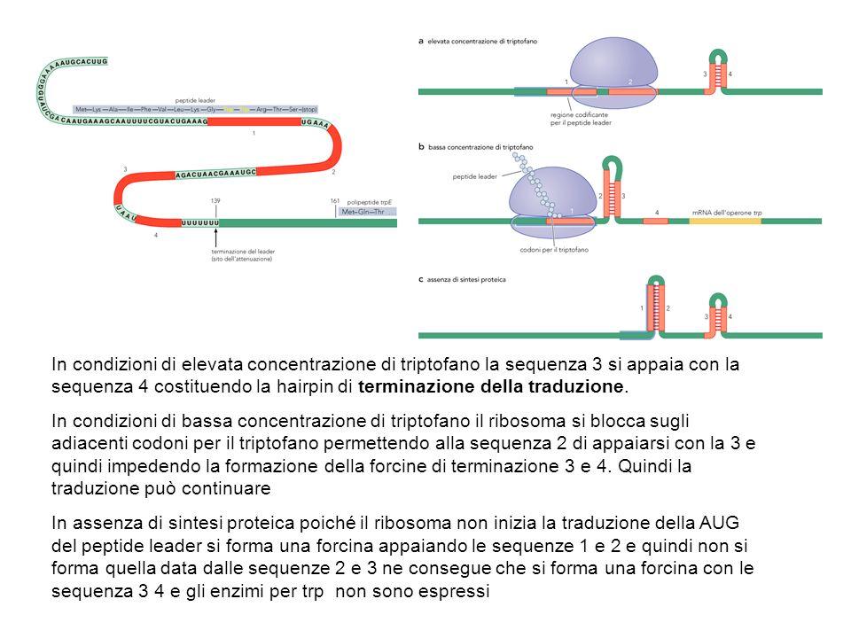 In condizioni di elevata concentrazione di triptofano la sequenza 3 si appaia con la sequenza 4 costituendo la hairpin di terminazione della traduzion