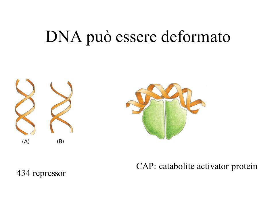 DNA può essere deformato 434 repressor CAP: catabolite activator protein