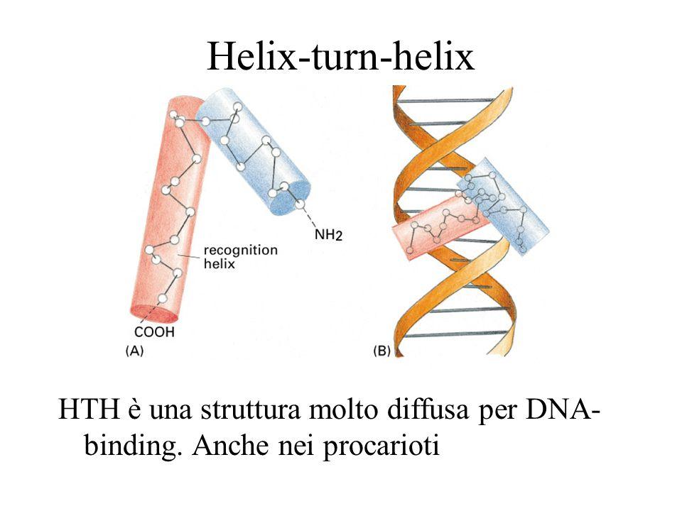Helix-turn-helix HTH è una struttura molto diffusa per DNA- binding. Anche nei procarioti