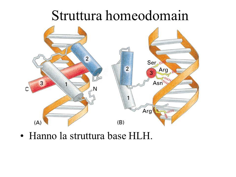 Struttura homeodomain Hanno la struttura base HLH.
