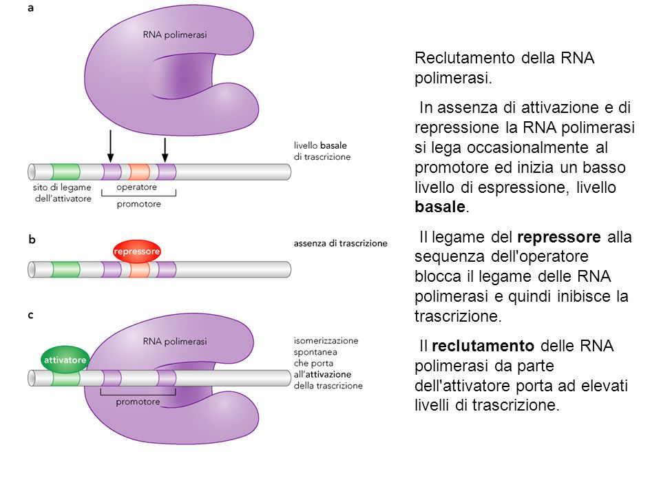 Reclutamento della RNA polimerasi. In assenza di attivazione e di repressione la RNA polimerasi si lega occasionalmente al promotore ed inizia un bass