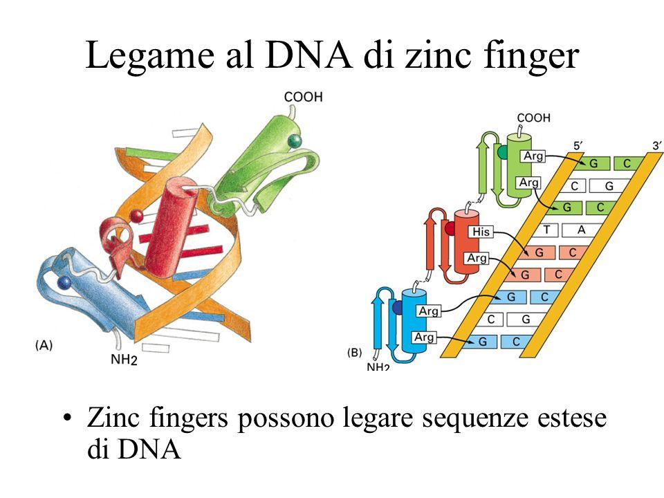 Legame al DNA di zinc finger Zinc fingers possono legare sequenze estese di DNA