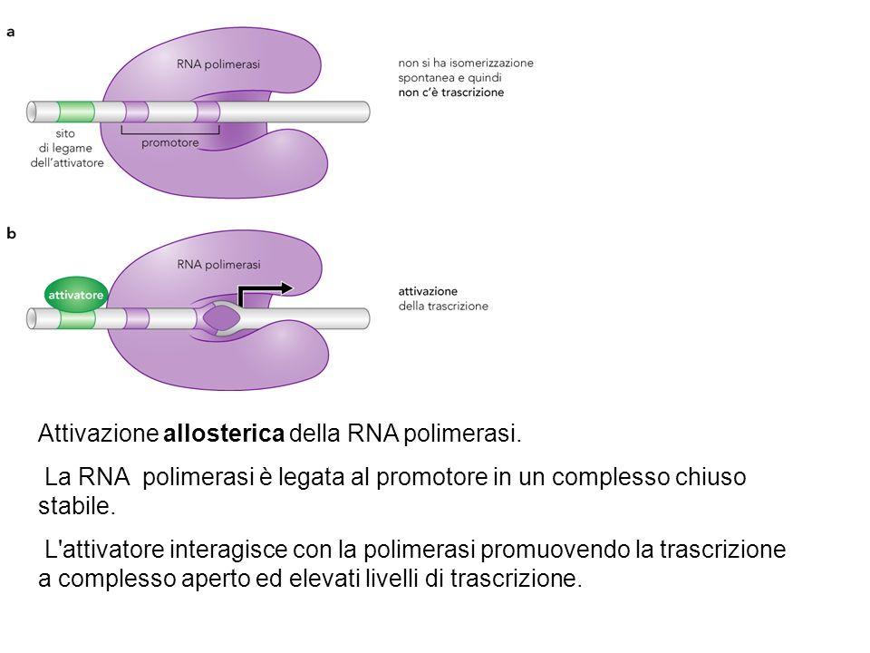 Attivazione allosterica della RNA polimerasi. La RNA polimerasi è legata al promotore in un complesso chiuso stabile. L'attivatore interagisce con la