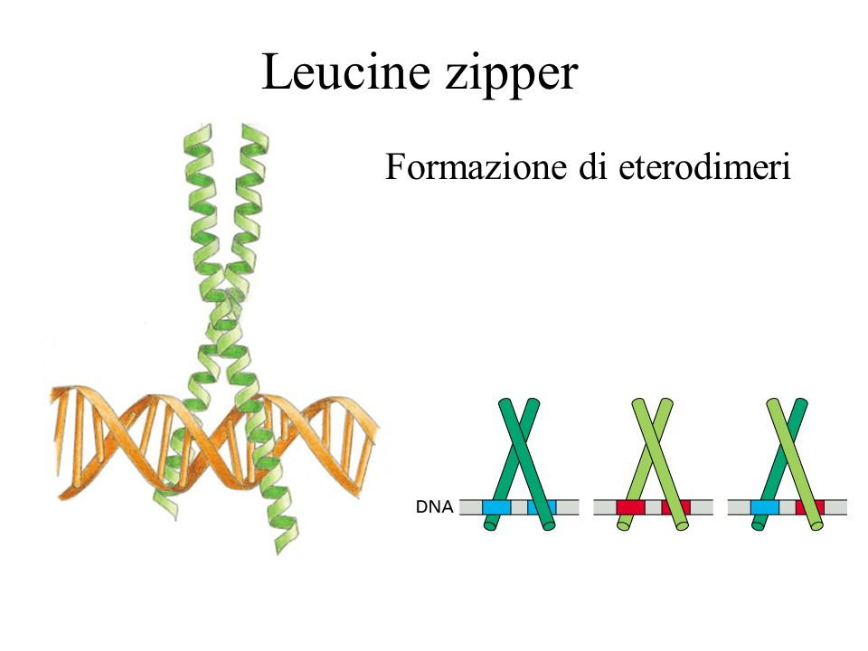 Leucine zipper Formazione di eterodimeri