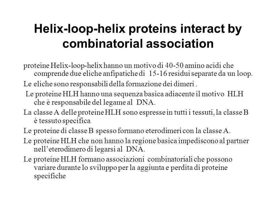 Helix-loop-helix proteins interact by combinatorial association proteine Helix-loop-helix hanno un motivo di 40-50 amino acidi che comprende due elich