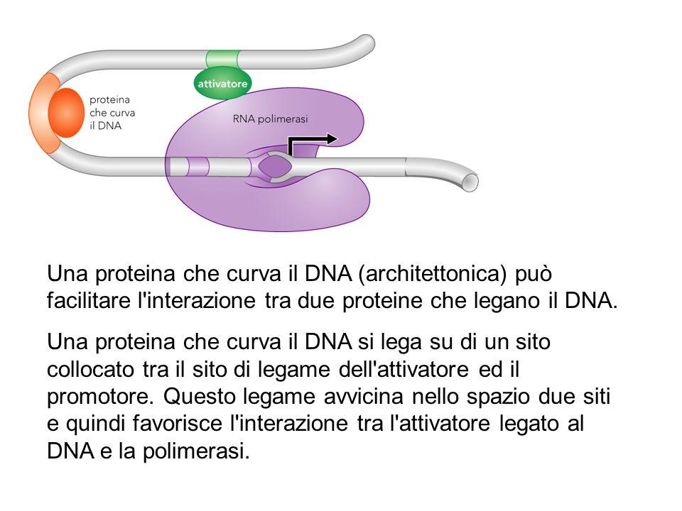 Una proteina che curva il DNA (architettonica) può facilitare l'interazione tra due proteine che legano il DNA. Una proteina che curva il DNA si lega