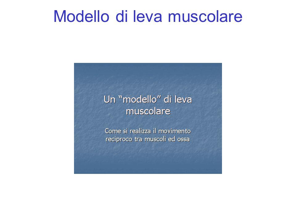 Modello di leva muscolare