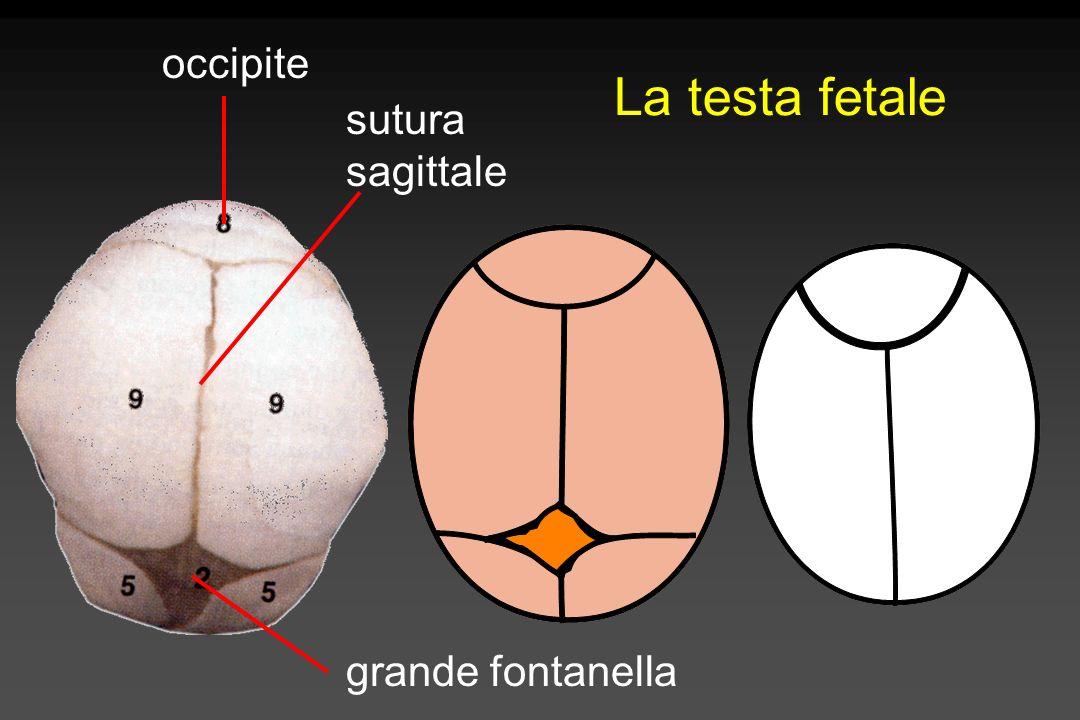 Diametri cranici Suboccipito- bregmatico 9,5 cm Occipito-frontale 11,5 cm