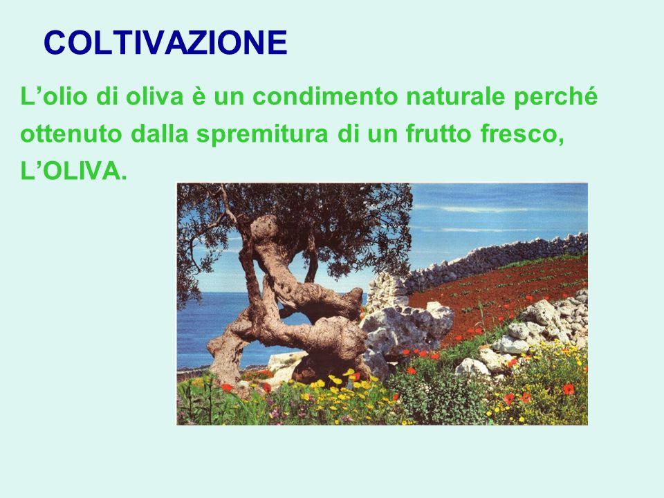COLTIVAZIONE Lolio di oliva è un condimento naturale perché ottenuto dalla spremitura di un frutto fresco, LOLIVA.