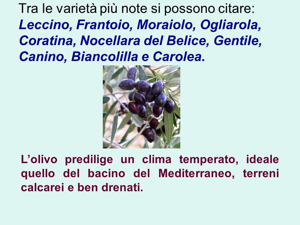 Tra le varietà più note si possono citare: Leccino, Frantoio, Moraiolo, Ogliarola, Coratina, Nocellara del Belice, Gentile, Canino, Biancolilla e Caro