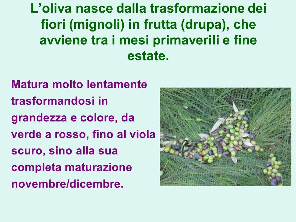 Loliva nasce dalla trasformazione dei fiori (mignoli) in frutta (drupa), che avviene tra i mesi primaverili e fine estate. Matura molto lentamente tra