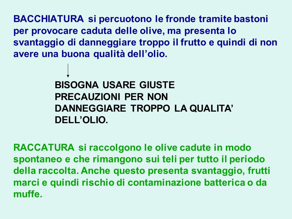 BACCHIATURA si percuotono le fronde tramite bastoni per provocare caduta delle olive, ma presenta lo svantaggio di danneggiare troppo il frutto e quin