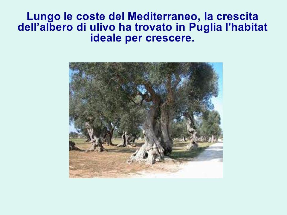 Lungo le coste del Mediterraneo, la crescita dellalbero di ulivo ha trovato in Puglia l'habitat ideale per crescere.