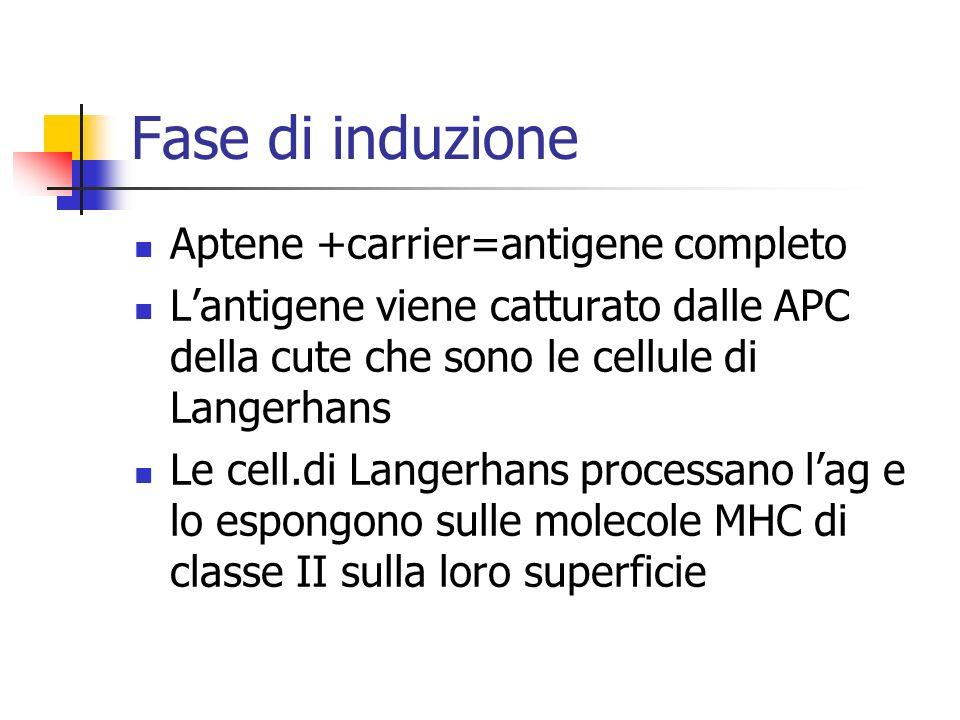 Fase di induzione Aptene +carrier=antigene completo Lantigene viene catturato dalle APC della cute che sono le cellule di Langerhans Le cell.di Langer