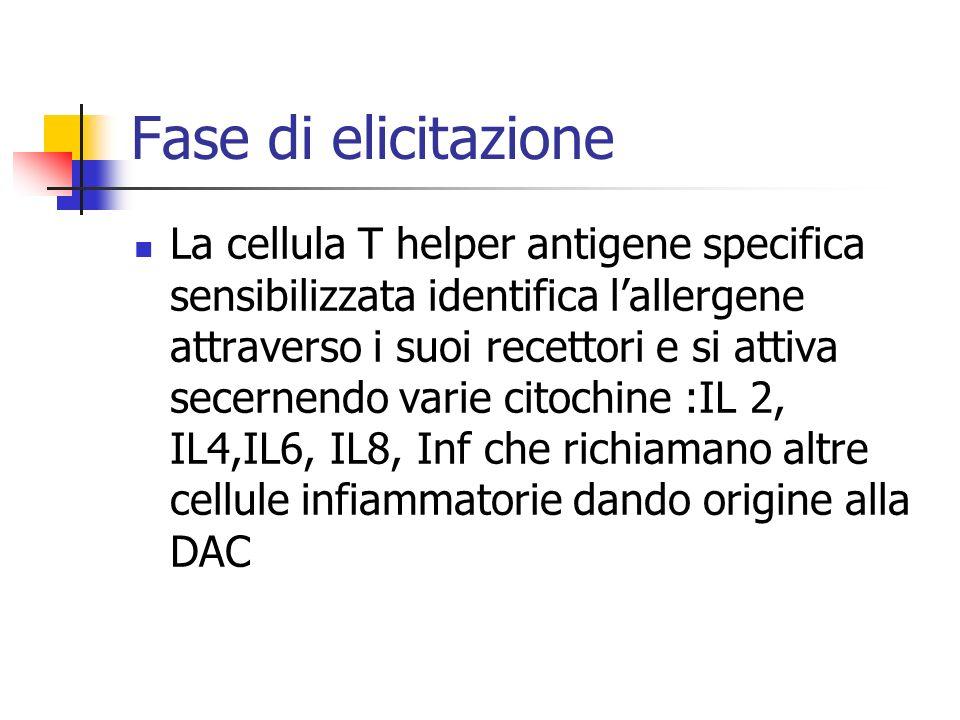 Fase di elicitazione La cellula T helper antigene specifica sensibilizzata identifica lallergene attraverso i suoi recettori e si attiva secernendo va