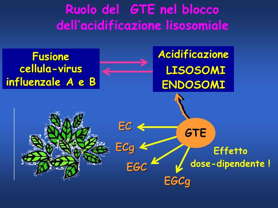 Fusionecellula-virus influenzale A e B Acidificazione LISOSOMI LISOSOMIENDOSOMI GTE EC ECg EGC EGCg Effetto dose-dipendente ! Ruolo del GTE nel blocco