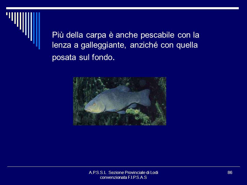 A.P.S.S.L Sezione Provinciale di Lodi convenzionata F.I.P.S.A.S 86 Più della carpa è anche pescabile con la lenza a galleggiante, anziché con quella p