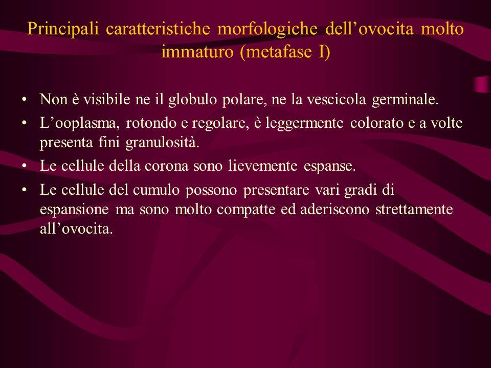 Principali caratteristiche morfologiche dellovocita immaturo (profase I) Il nucleo presenta un tipico aspetto vescicoloso ed è per questo chiamato vescicola germinale è più o meno sferico e presenta un nucleolo in posizione eccentrica.