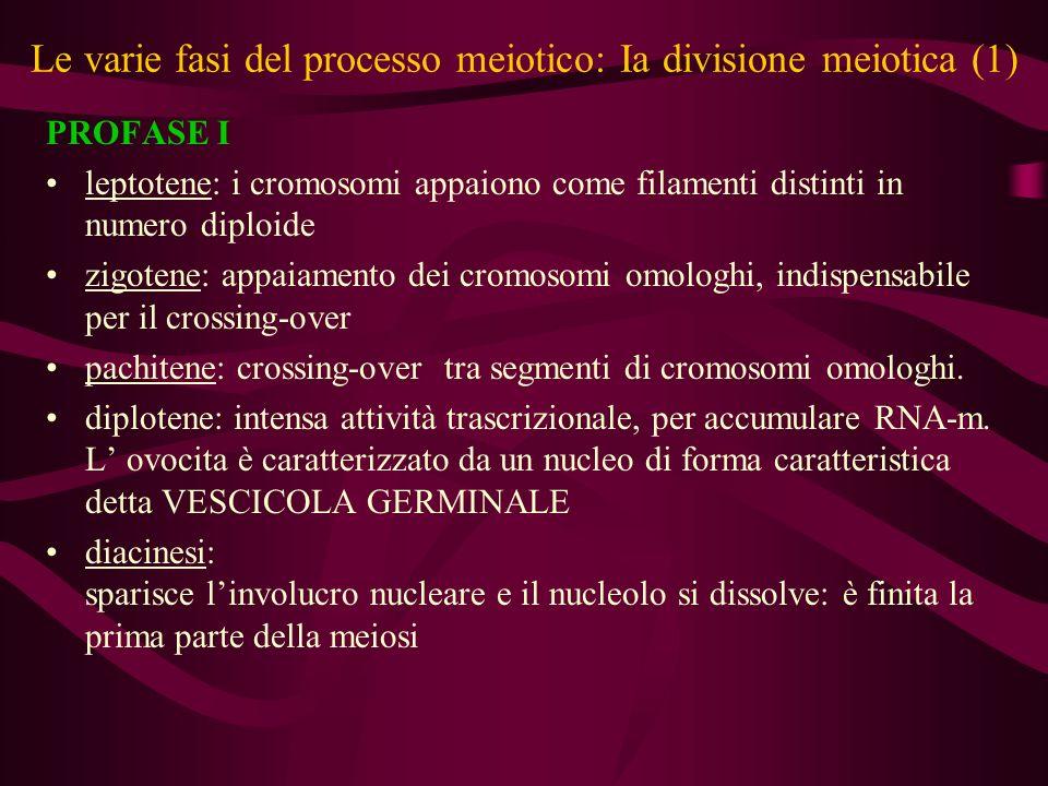 Le varie fasi del processo meiotico: Ia divisione meiotica (2) METAFASE I formazione del fuso mitotico e allineamento degli omologhi ANAFASE I i cromosomi si separano completamente e vanno verso il polo TELOFASE I riformazione dellinvolucro nucleare con distribuzione assimmetrica del materiale citoplasmatico