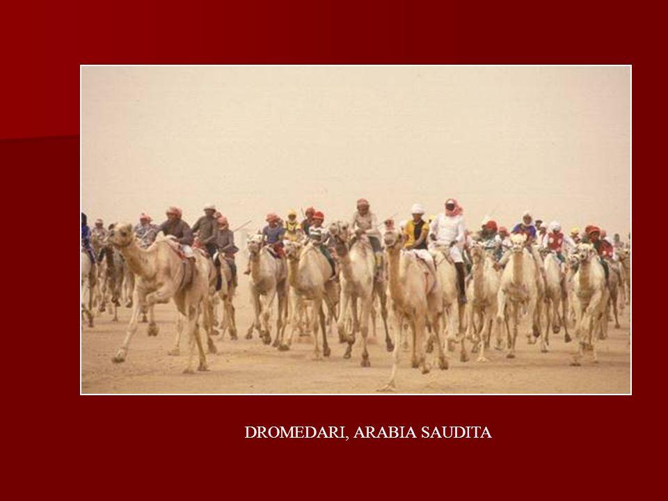 DROMEDARI, ARABIA SAUDITA