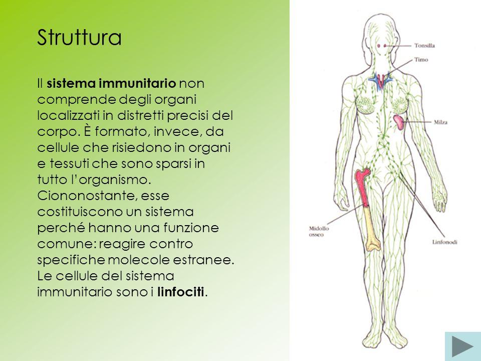 Struttura Il sistema immunitario non comprende degli organi localizzati in distretti precisi del corpo. È formato, invece, da cellule che risiedono in
