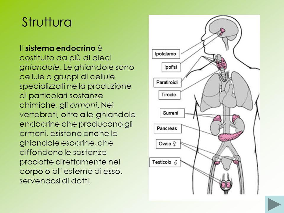 Struttura Il sistema endocrino è costituito da più di dieci ghiandole. Le ghiandole sono cellule o gruppi di cellule specializzati nella produzione di