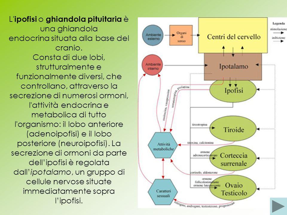 L' ipofisi o ghiandola pituitaria è una ghiandola endocrina situata alla base del cranio. Consta di due lobi, strutturalmente e funzionalmente diversi