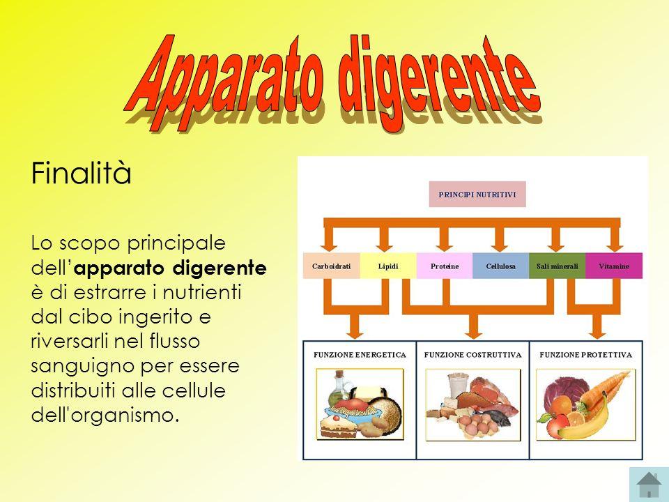 Finalità Lo scopo principale dell apparato digerente è di estrarre i nutrienti dal cibo ingerito e riversarli nel flusso sanguigno per essere distribu