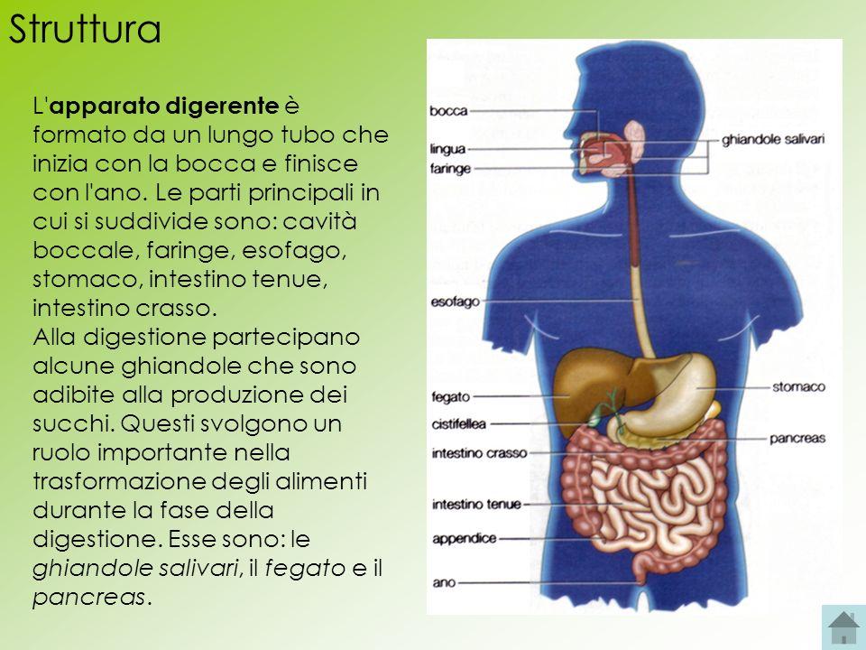 Struttura apparato maschile Gli organi dell apparato riproduttore maschile sono in parte allesterno del corpo e in parte allinterno.