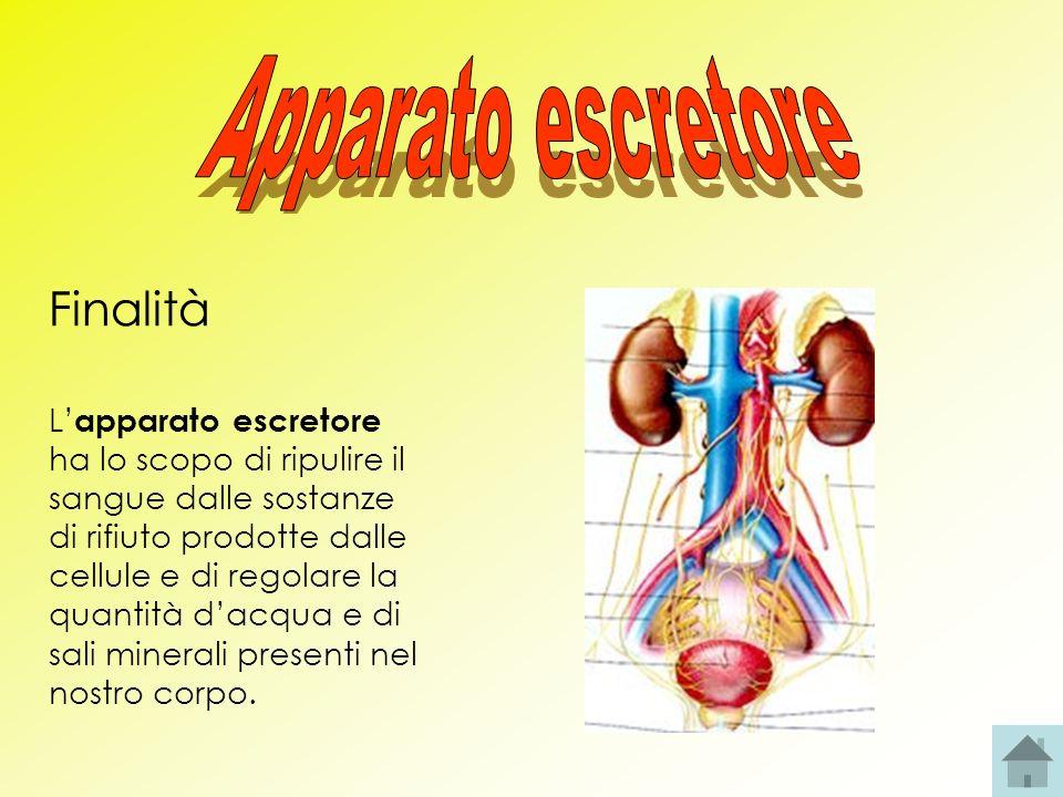 Struttura L apparato escretore è costituito da due reni, due ureteri, la vescica urinaria e luretra.