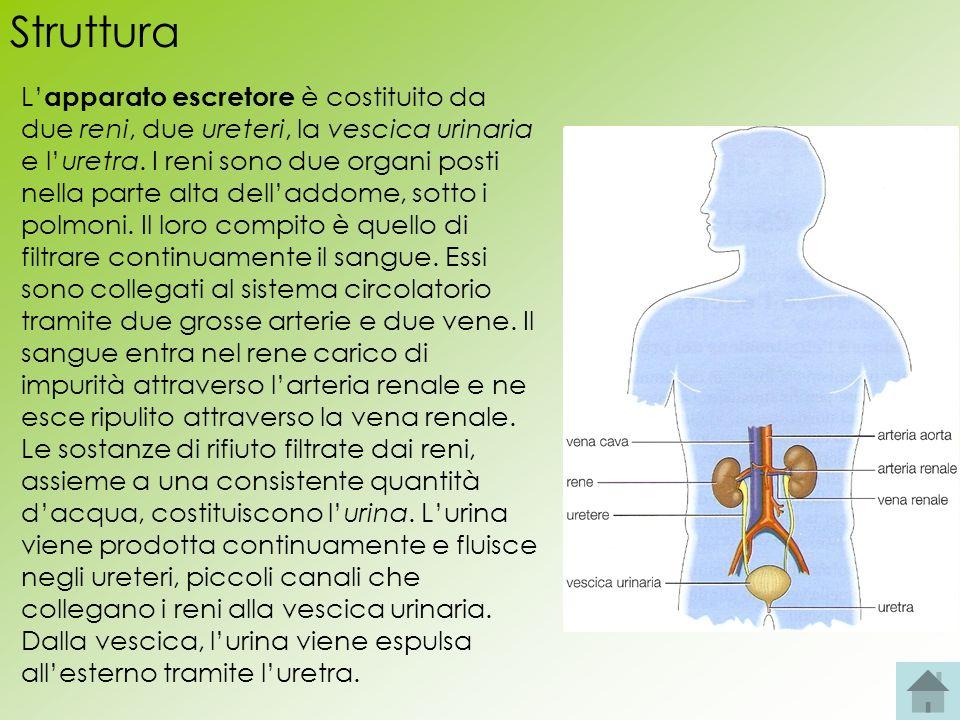 Struttura L apparato escretore è costituito da due reni, due ureteri, la vescica urinaria e luretra. I reni sono due organi posti nella parte alta del