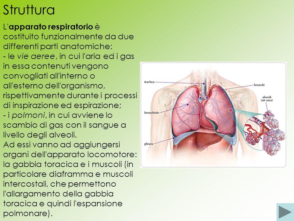Struttura L' apparato respiratorio è costituito funzionalmente da due differenti parti anatomiche: - le vie aeree, in cui l'aria ed i gas in essa cont